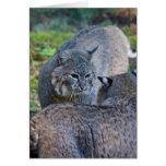bobcats greeting cards