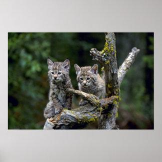 Bobcats-summer-young kittens poster
