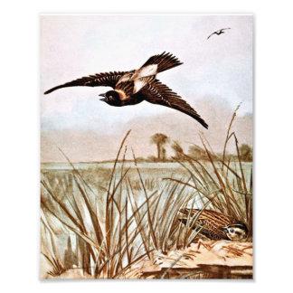 Bobolink Bird Vintage Illustration Art Photo