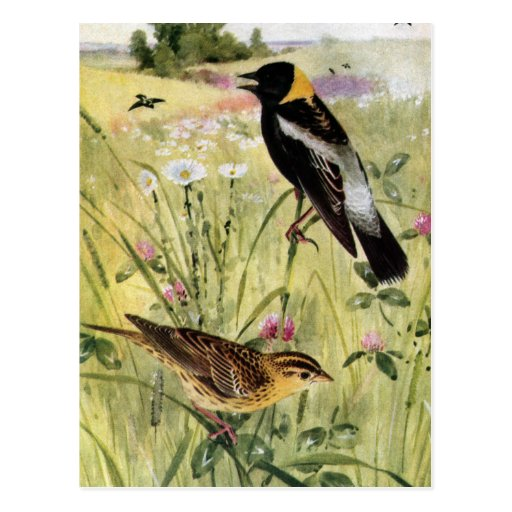 Bobolinks, Daisies and Pink Clover Postcard
