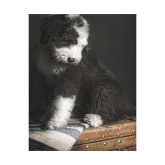 Bobtail puppy portrait in studio canvas print