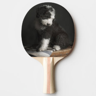 Bobtail puppy portrait in studio Ping-Pong paddle
