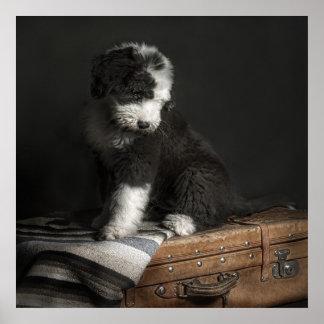 Bobtail puppy portrait in studio poster