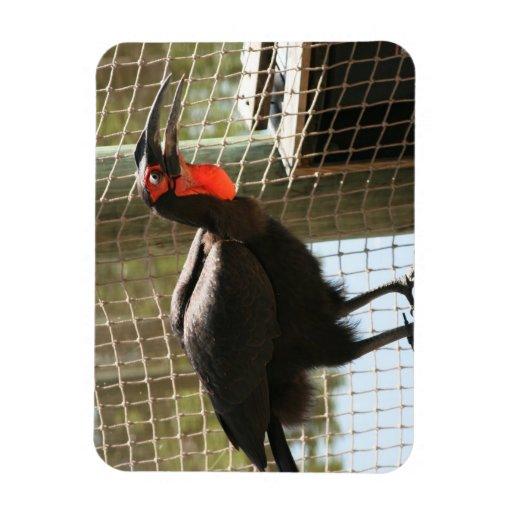 boca abierta de la garganta roja negra del pájaro imanes