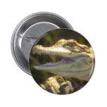 Boca del cocodrilo americano abierta pin