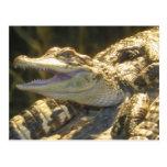 Boca del cocodrilo americano abierta tarjeta postal