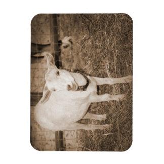 Boca doeling de la cabra de la sepia de Saanen abi Iman Flexible