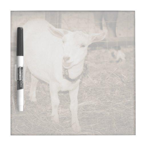 Boca doeling de la cabra de la sepia de Saanen abi Pizarras Blancas De Calidad