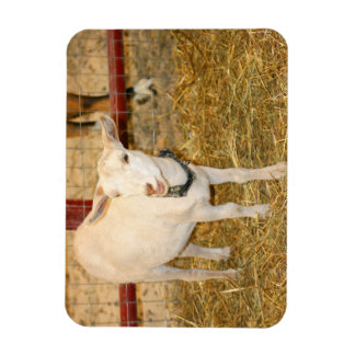 Boca doeling de la cabra de Saanen abierta Imán Rectangular