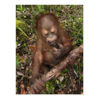 Boca sucia del orangután de George Póster