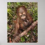 Boca sucia del orangután de George Posters