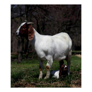 Boer Goat Mother And Baby Poster Print
