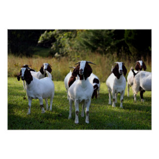 Boer Goat The Gangs All Here Poster Print