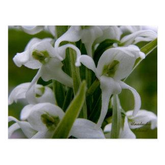 Bog Candle Orchid Blossoms, Unalaska Island Postcard
