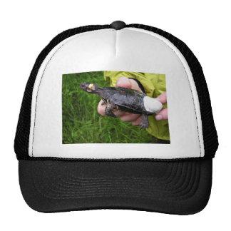 Bog turtle affixed with radio transmitter trucker hat