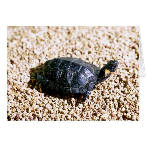 Bog turtle card