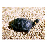 Bog turtle postcards