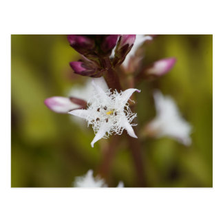 Bogbean (Menyanthes trifoliata) Postcard