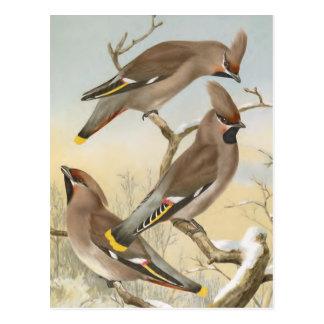 Bohemian Waxwing Vintage Bird Illustration Postcard