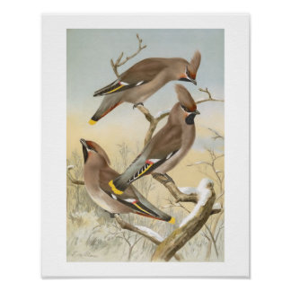 Bohemian Waxwing Vintage Bird Illustration Poster