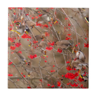 Bohemian Waxwings Feeding On Mountain Ash Small Square Tile