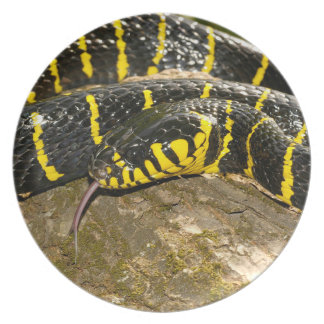 Boiga dendrophila or mangrove snake dinner plate