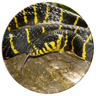 Boiga dendrophila or mangrove snake plate