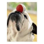Bola de equilibrio del dogo en el hocico, primer postal