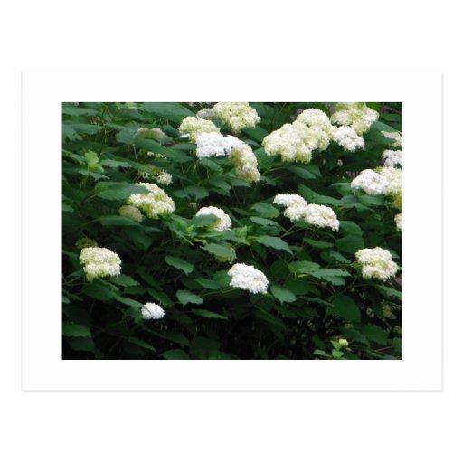 Bolas de nieve florecientes tarjetas postales