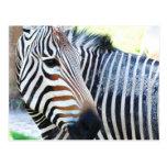 Bold Zebra Postcard