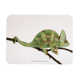 Boldly coloured chameleon with characteristic 2 magnet