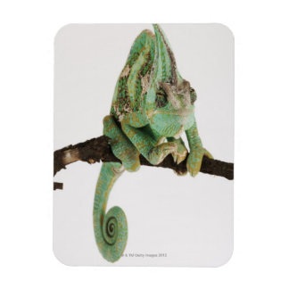 Boldly coloured chameleon with characteristic magnet
