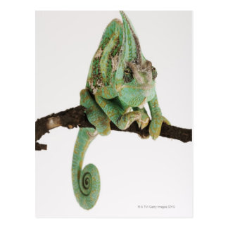 Boldly coloured chameleon with characteristic postcard