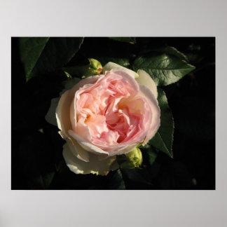 Bolero Hybrid Tea Rose 011 Poster