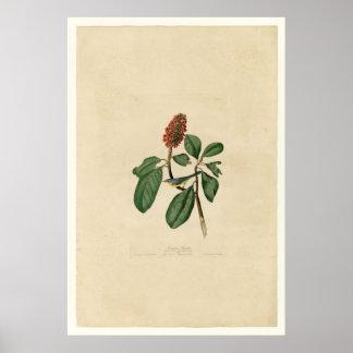 Bonaparte Flycatcher_Audubon Poster