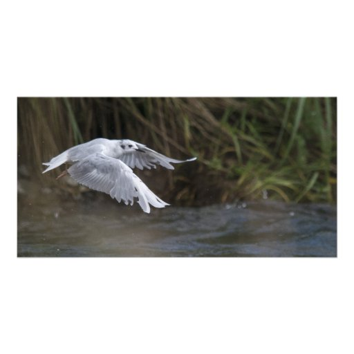 Bonaparte Gull, Admiralty Island, Alaska. Picture Card