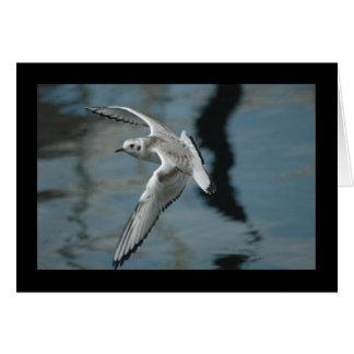 Bonaparte's Gull in Flight Card