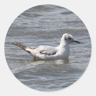 Bonaparte's Gull Sticker