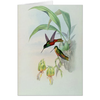 Bonaparte's Star Fronted Hummingbird (coloured lit Card
