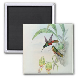 Bonaparte's Star Fronted Hummingbird (coloured lit Magnet