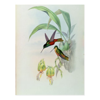 Bonaparte's Star Fronted Hummingbird (coloured lit Postcard
