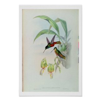 Bonaparte's Star Fronted Hummingbird (coloured lit Poster