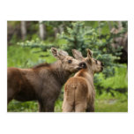 Bonded Moose Calves Postcard