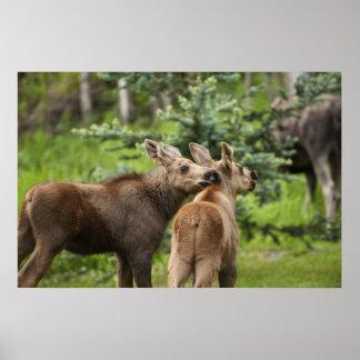 Bonded Moose Calves Poster
