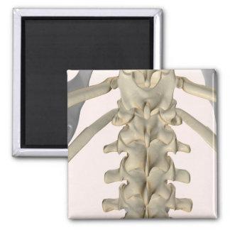 Bones of Lumbar Vertebrae 3 2 Inch Square Magnet