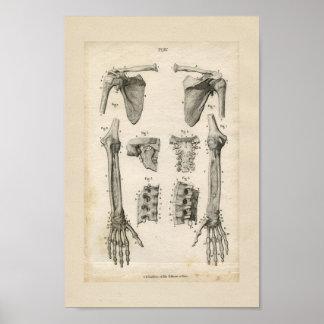 Bones of the Arm Vintage Anatomy Print