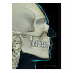 Bones of the Head and Face 2 Post Cards