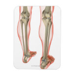 Bones of the Leg 3 Flexible Magnets