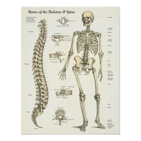 bones of the skeleton & spine anatomy poster | zazzle, Skeleton