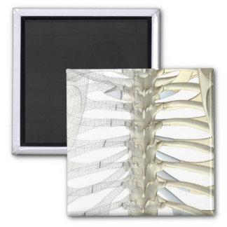 Bones of the Thoracic Vertebrae 2 2 Inch Square Magnet